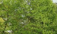 hábito de jovem carvalho-negral - Quercus pyrenaica