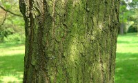 ritidoma de carvalho-negral - Quercus pyrenaica