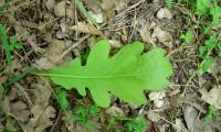 página inferior, carvalho-negral - Quercus pyrenaica