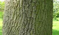 ritidoma do freixo – Fraxinus angustifolia