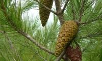 pinhas imaturas de dois anos do pinheiro-de-alepo – Pinus halepensis