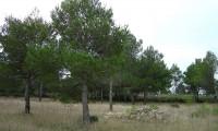 jovens pinheiros-de-alepo – Pinus halepensis