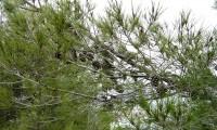 ramo com pinhas, pinheiro-de-alepo – Pinus halepensis