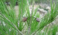 inflorescências femininas do pinheiro-de-alepo – Pinus halepensis