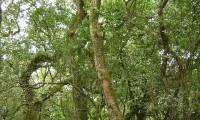 aspecto do tronco de um medronheiro no seu meio natural - Arbutus unedo