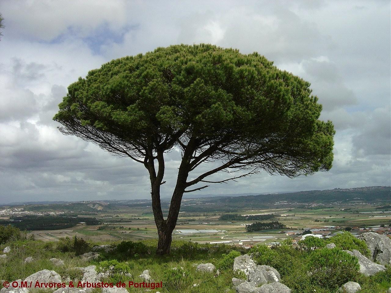 hábito, pinheiro-manso – Pinus pinea