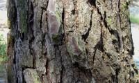 ritidoma de pinheiro-bravo – Pinus pinaster