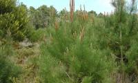 jovem pinheiro-bravo – Pinus pinaster