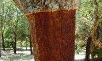 aspecto tronco de sobreiro depois de descortiçado - Quercus suber