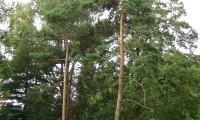 hábito de pinheiro-silvestre – Pinus sylvestris