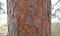 ritidoma alaranjado de pinheiro-silvestre – Pinus sylvestris