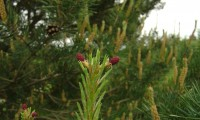 inflorescências femininas de pinheiro-silvestre – Pinus sylvestris