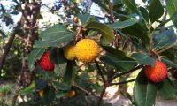 frutos de medronheiro, aspecto verrugoso - Arbutus unedo