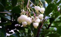 panículas floridas de medronheiro - Arbutus unedo
