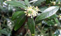 pormenor flor e formação do fruto do buxo - Buxus sempervirens