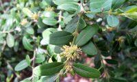 fruto do buxo em formação - Buxus sempervire