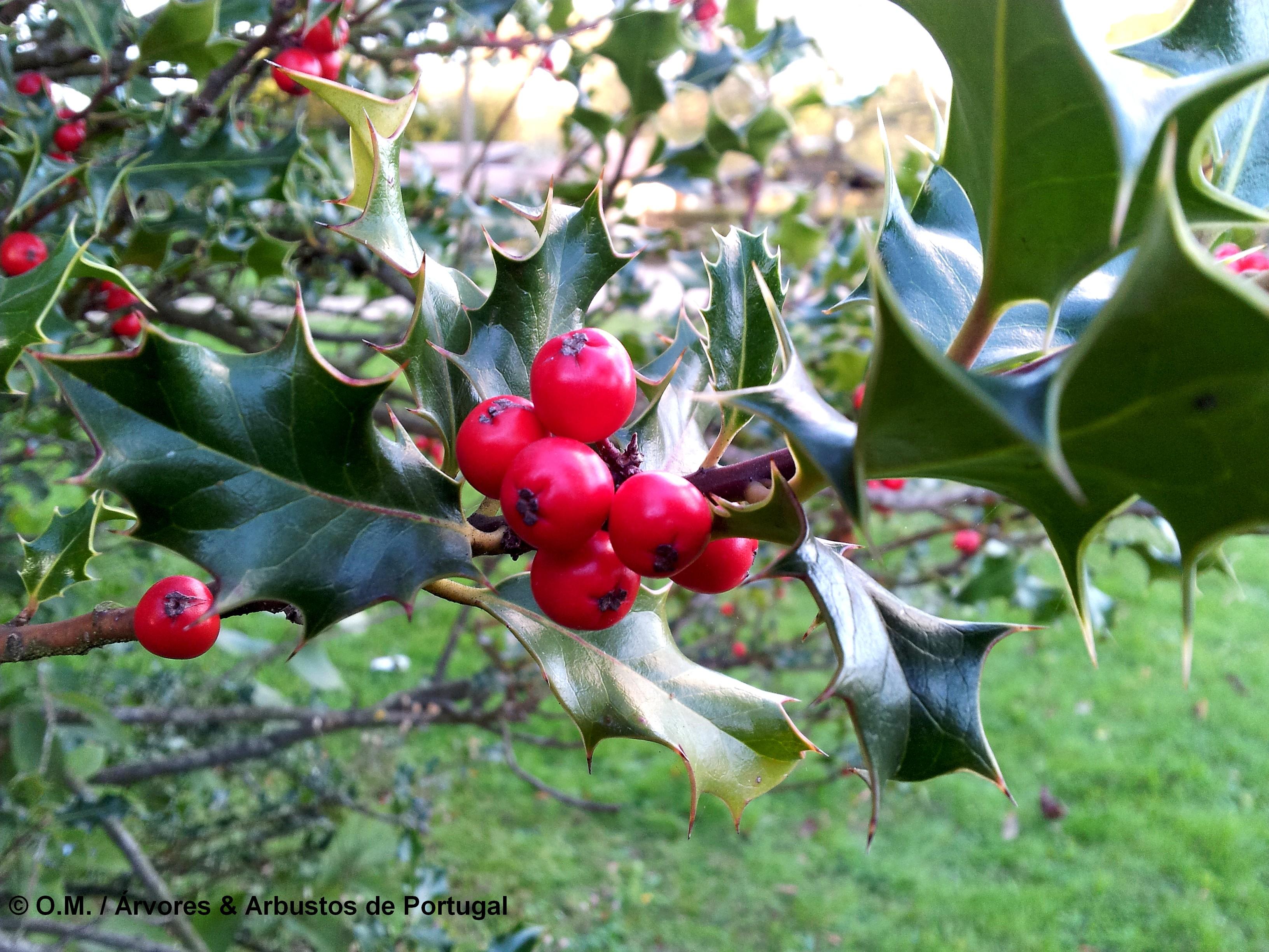 drupas maduras de azevinho - Ilex aquifolium