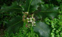 botões e flores femininas de azevinho - Ilex aquifolium