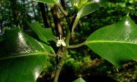 flor masculina de azevinho - Ilex aquifolium