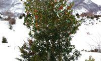azevinho, hábito invernal, pé feminino - Ilex aquifolium