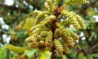 amentilhos em botão de azinheira, azinho - Quercus rotundifolia