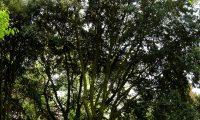 hábito florestal de azinheira, azinho - Quercus rotundifolia