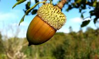 glande e cúpula de carrasco – Quercus coccifera