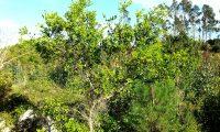 hábito com ramos desde a base de carrasco, carrasqueiro – Quercus coccifera