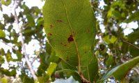página inferior de carrasco – Quercus coccifera