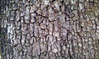 ritidoma adulto de carrasco-arbóreo - Quercus rivasmartinezii