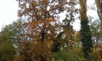 hábito, colorido outonal do carvalho-alvarinho - Quercus robur