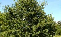 hábito jovem do carvalho-alvarinho - Quercus robur