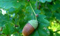bolota madura de carvalho-alvarinho, roble, carvalho-comum - Quercus robur