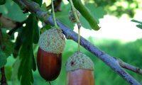 bolotas maduras de carvalho-alvarinho, roble - Quercus robur