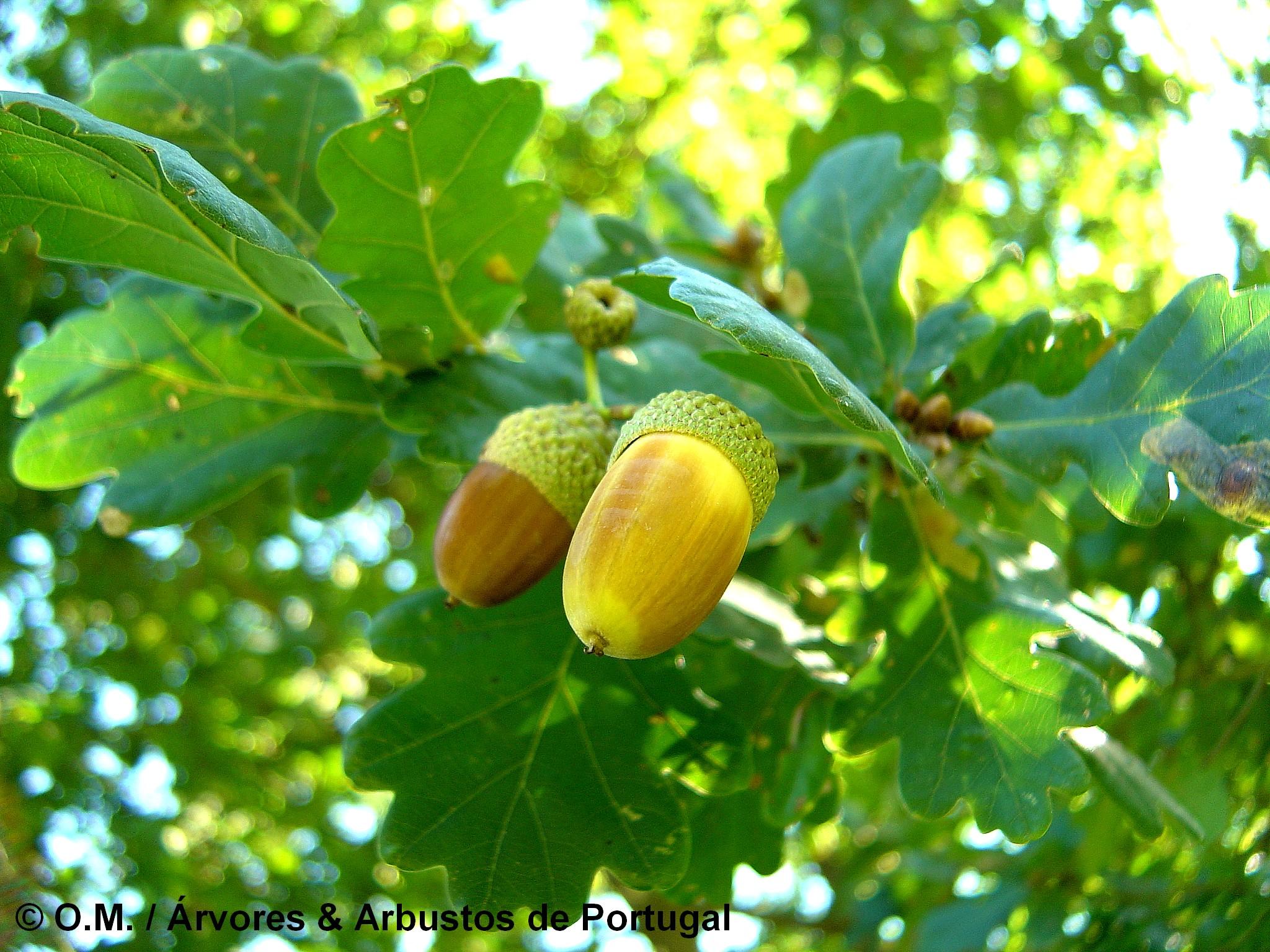 glandes maduras de carvalho-alvarinho, roble, carvalho-comum - Quercus robur