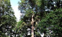 hábito adulto de carvalho-alvarinho, roble, carvalho-comum - Quercus robur