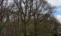 hábito invernal do carvalho-alvarinho, orla florestal - Quercus robur