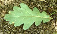 página inferior de carvalho-alvarinho - Quercus robur