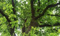 pernadas imponentes de carvalho-alvarinho, roble - Quercus robur