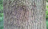 ritidoma de carvalho-alvarinho, roble, carvalho-comum - Quercus robur