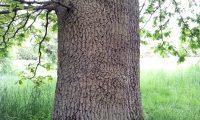 tronco e ritidoma de carvalho-alvarinho - Quercus robur