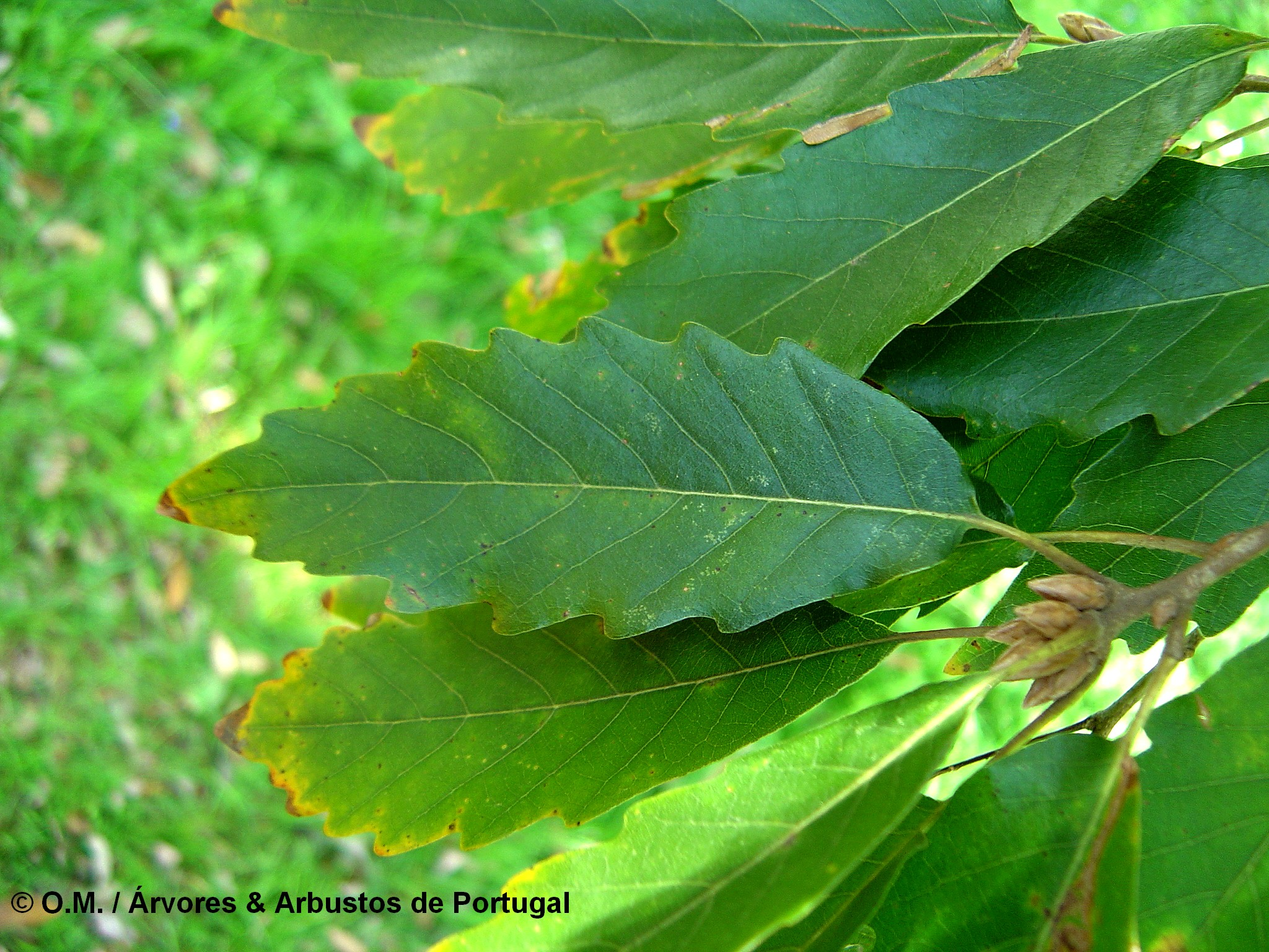 página superior do carvalho-de-monchique, carvalho-das-canárias - Quercus canariensis