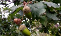 bolotas de carvalho-português, cerquinho, carvalho-lusitano - Quercus faginea