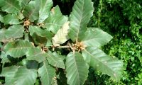 gomos e páginas superiores do carvalho-português - Quercus faginea subsp. broteroi