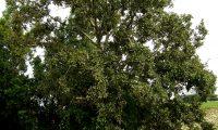 hábito de carvalho-português - Quercus faginea