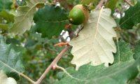 página inferior de jovem carvalho-português, cerquinho - Quercus faginea subsp. broteroi