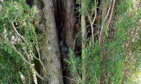 ramos fastigiado do cipreste - Cupressus sempervirens