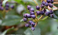 drupas imaturas de folhado - Viburnum tinus
