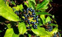 drupas maduras de folhado - Viburnum tinus