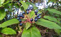 frutos maduros de folhado - Viburnum tinus